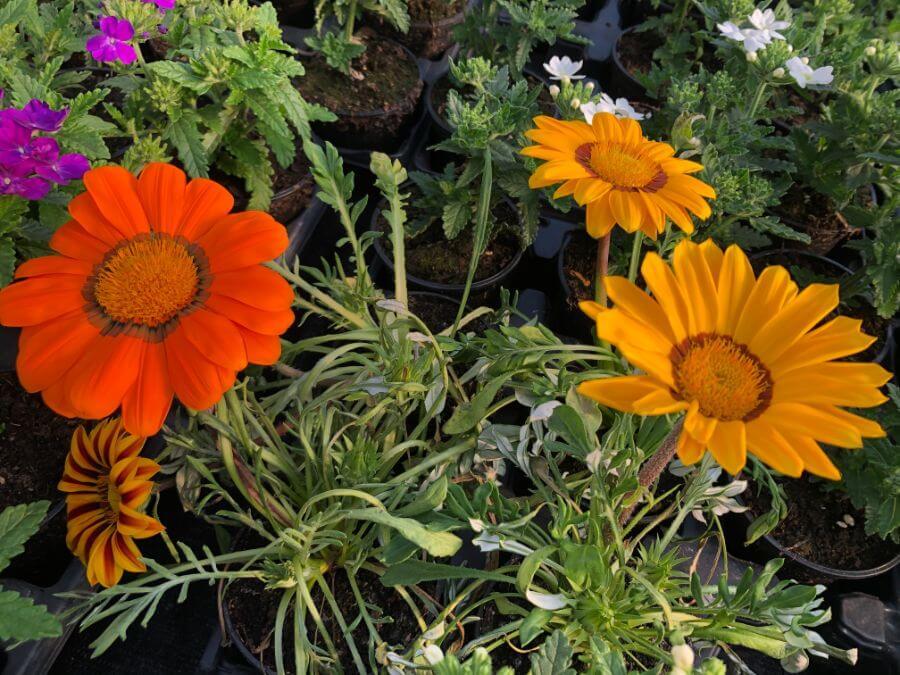 Gazanija vrtno cvijeće prodaja