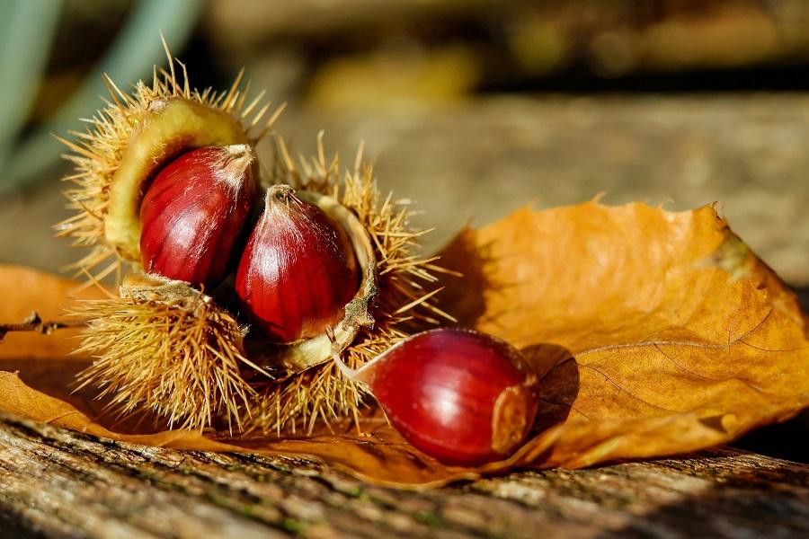 Zašto je kesten dobr za zdravlje, dobrobiti kestena