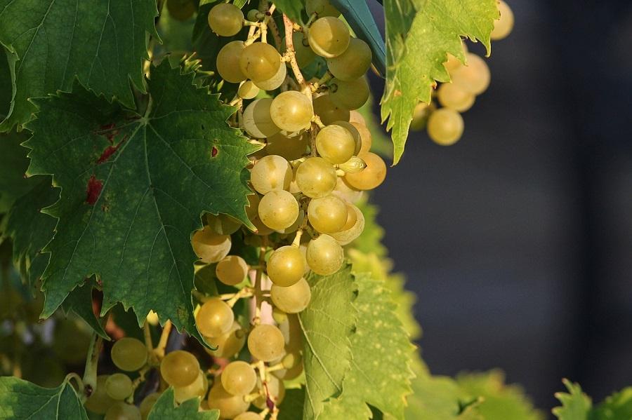 Jesenske zdrave namirnice, grožđe