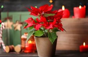 Božićno cvijeće