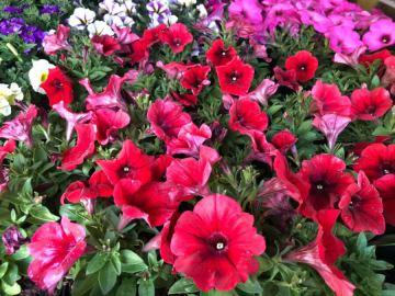 Balkonsko cvijeće