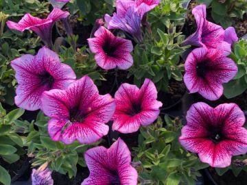 Balkonsko cvijeće Karlovac