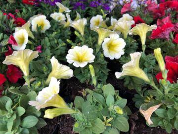 Balkonska cvijeće Petunije