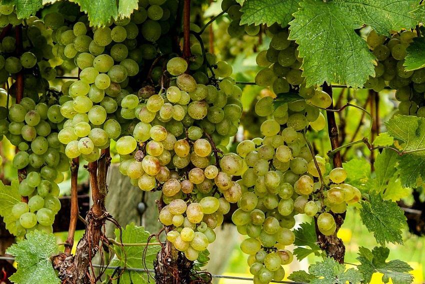 Natječaj za mjeru Restrukturiranje i konverzija vinograda
